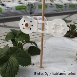 FresaProtect, kirvavainokainen, mansikka, Biotus Oy Katrianna Leino