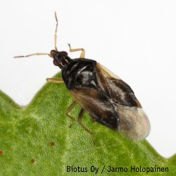 Orius majusculus petolude Biotus Oy Jarmo Holopainen